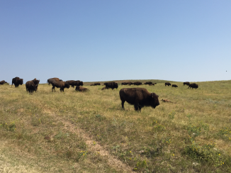 Bison in Custer State Park.